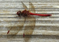 Red dragonfly (Ruth and Dave) Tags: wood red macro closeup insect dragonfly ubc resting railing universityofbritishcolumbia ubcbotanicalgarden