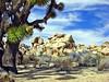 Old Joshua & Rocks, Joshua Tree NP 4-13 (inkknife_2000 (8.5 million views +)) Tags: usa landscape desert joshuatree skyandclouds joshuatreenationalpark yuccaplant rockpiles dgrahamphoto