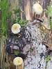 Pilz Mushroom Fungus Nature Natur Bayern Autumn Fall Bavaria (c) (hn.) Tags: life wood autumn copyright tree fall nature mushroom forest germany season bayern deutschland bavaria heiconeumeyer europa europe decay live herbst jahreszeit natur oberbayern tölzerland upperbavaria eu fungus oldtree wald baum decaying leben pilz oberland copyrighted decomposing herbstzeit jachenau alterbaum decayingtree landkreisbadtölzwolfratshausen badtölzwolfratshausen vermodern rehgraben vermodernderbaum