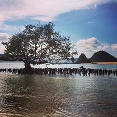 Kuta, Lombok..  #upsticksandgo #lombok #kuta #travel #travelgram #travelphotos #travellingtheworld #indonesia #beachlife #beachphotos #tree (UpSticksNGo) Tags: travel tree indonesia beachlife lombok kuta travelphotos beachphotos travellingtheworld travelgram upsticksandgo
