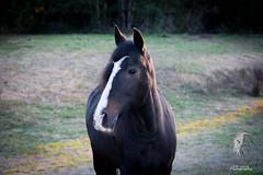 Perfect Portrait (© S. D. 2010 Photography) Tags: portrait horse altered nikon profile stripe spanish paso equine andalusian enhance lusitano fino beautifulhorse d5200 lr5 afinestep
