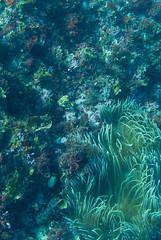 DSC_0113.jpg (d3_plus) Tags: sea sky fish beach japan scenery diving snorkeling  shizuoka   j1  izu anemonefish seaanemone     skindiving  clarksanemonefish  minamiizu     nikon1 hirizo   nakagi nikon1j1 1nikkor185mmf18  beachhirizo misakafishingport