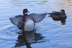 A wood duck dries itself off