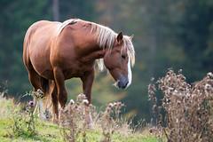 Cavallo al pascolo (paolo-55) Tags: horse cavalli cavallo cansiglio bl tambre saariysqualitypictures altopianodelcansiglio