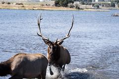 IMG_0217a (markbyzewski) Tags: colorado ugly elk estespark lakeestes