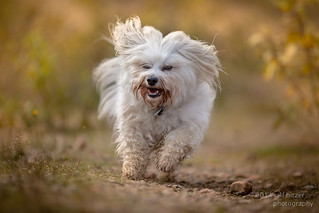 Havanese in autumn