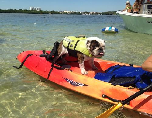 dogs kayak sandbar bulldog boating miamiviews saltlife miamirealestate miamiboating miamisms miamifun hauloversandbar miamipets