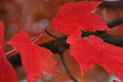 Fall Fire 25.10.2014 #2 (Trevdog67) Tags: autumn red canada tree nature leaves nikon day symbol fallfoliage mapletree nikkor 18300mm d7100