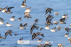 Back to land of the living, Cornwall, after another gorgeous trip to France (doublejeopardy) Tags: france bird flying places activity continent sanderling locuirec
