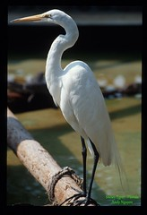 Great_Egret (andy2k27) Tags:
