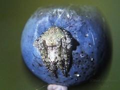 Humpbacked Orbweaver_2014.10.04 (Urutu_From_SW_PA) Tags: spider arachnid orb weaver orbweaver eustala humpbackedorbweaver eustalaanastera