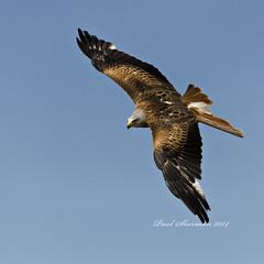 Red Kite - Captive (muppet1970) Tags: kite bird flying wings flight feathers birdofprey redkite suffolkowlsanctuary