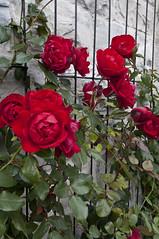 Roses (cj howitt) Tags: ontario kingston wwpw2014