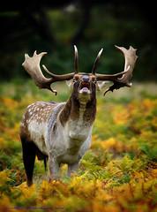 Buck Fallow Deer Rutting. (spw6156 - Over 5,666,110 Views) Tags: copyright steve © deer iso 400 buck fallow waterhouse rutting copyrightstevewaterhouse© buckfallowdeerruttingiso400takenin13cropmodefromalongwayoff