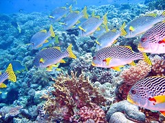 sea of love (explore) (DOLCEVITALUX) Tags: sea fish philippines tubbataha