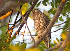 Barking Owl (aaardvaark) Tags: australia wa kimberley hvs barkingowl ninoxconnivens homevalleystation 201408241d7169barkingowl43x31vc