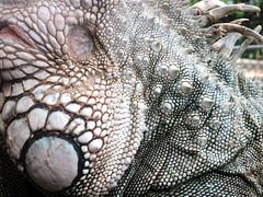 texture (Law Tapias) Tags: texture animal textures iguana texturas reptil