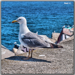 Gaviota en el puerto (Nati C.) Tags: animal puerto retrato asturias ave gaviota hdr llanes