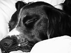 My Baby (kathleenh23) Tags: love son sleepy spaniel springer