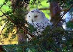 SNOWY OWL (captive) (imeshome) Tags:
