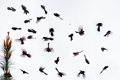 Melanistic (black phase) Fantail Hunting, Rakaia Gorge (Explore, Oct 20 2014, #490) (RKop) Tags: newzealand composit 704000gssmsony photoshopc6 a77mk2