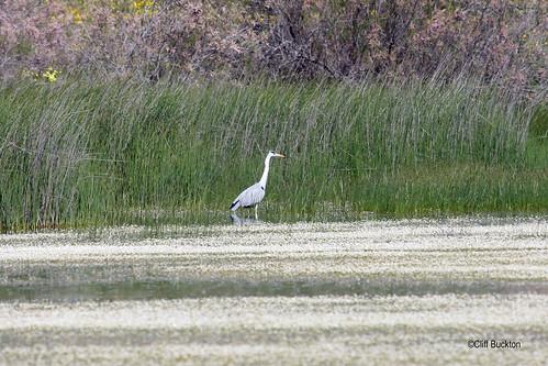 IMG_0818 Grey Heron