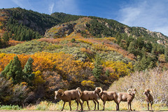 October 18, 2014 - Bighorn Sheep graze among the fall colors in Waterton Canyon. (Tony's Takes)