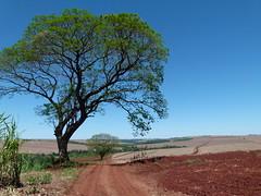 (IgorCamacho) Tags: road brazil sky tree primavera nature paran field brasil spring natureza sunny cu southern estrada cielo campo agriculture rvore sul caminho agricultura ensolarado