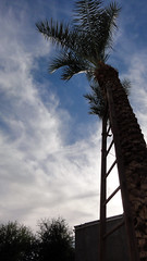 Datiles 02511 (Omar Omar) Tags: mexicali bajacalifornia bassecalifornie mexico méxico mexque desert desierto calor caloron cachanilla datiles dates ladder palm palmtree palma palmera datilera celaje america