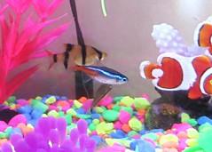 Neon Tetra (DianesDigitals) Tags: fish tetras neontetra paracheirodoninnesi dianesdigitals