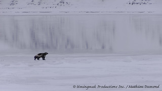 Wolverine on the Coppermine River
