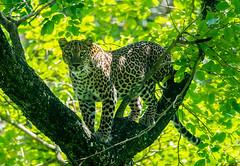 leopard @ BRT (T_Monk) Tags: karnataka brhills 14tc 300f4 d5300