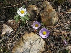 Tiny Purple Flowers (tat2dqltr) Tags: flowers arizona nature fallcolors roadtrip autumncolors tiny purpleflower mogollonrim rimcountry