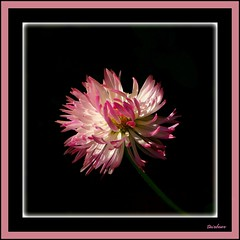 for Sheila (milomingo) Tags: nature flower plant bloom petal pink daisy englishdaisy horticulture botanical white spike frilly closeup bicolor onblack multiple garden mygarden organic light shadow frame floralappreciation photoborder