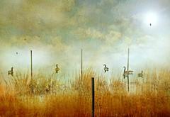 Gossip (floralgal) Tags: nature birds landscape geese marsh pilings canadiangeese marshlands ryenewyork newyorklandscape westchestercountynewyorklandscape3