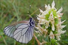 Aporia-crataegi_5 (amadej2008) Tags: white blackveinedwhite aporiacrataegi aporia belinke taxonomy:binomial=aporiacrataegi baumweisling belinka glogovabelinka