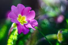 in the pink (Simon[L]) Tags: pink primrose flower primoplan58mmf19 meyeroptik
