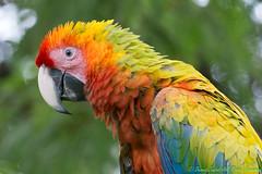 Hybrid Macaw-0018 (dennis.zaebst) Tags: hybrid macaw costarica centralamerica bird canoneos1dx ef100400lisii animal outdoor