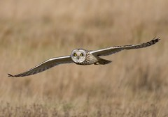 Short Eared Owl (cogs2011) Tags: owl eyes best yellow great grass bird flying