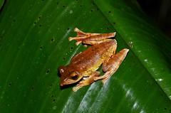 Polypedates sp. (Pasha Kirillov) Tags: indonesia geo:country=indonesia sumatra kedah gunungleuser amphibians amphibia frog polypedates