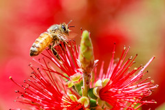 Honey bee doing his thang (James Kellogg's Photographs) Tags: honey bee pollen flying nectar boo yellow red wildflower canon eos 7d mark ii ef70200mm f28l is usm pollination macro zoom