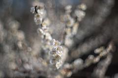 _DSC2092 (kymarto) Tags: bokeh bokehlicious ume plumblossoms flowers flowerphotography depthoffield dallmeyer dof oldlens vintagelens white nature nikon nikond800 naturephotography