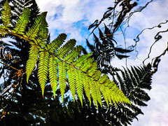 Fern Reflections (Steve Taylor (Photography)) Tags: black blue green white newzealand nz southisland canterbury christchurch fern reflection ripple sky cloud silhouette