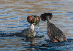 Great Crested Grebes - coming together (hunt.keith27) Tags: greatcrestedgrebes grebes dance weed somerset courtship podicepscristatus fish waterbird ornate head plumes