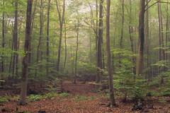 Autumn Mist (Netsrak) Tags: forst nebel wald fog forest mist woods eifel tree trees baum bäume nature natur rheinbach nordrheinwestfalen deutschland de