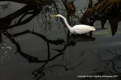 Egret In The Shadows (T i s d a l e) Tags: tisdale egretintheshadows waterfowl birds egret curritucksound winter 2013 easternnc