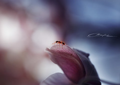Falling into place (MaaykeKlaver) Tags: ant macro insect purple soft colors flower nature pink animal