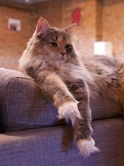 Stevie (Travis Estell) Tags: calico calicocat cat damestevie domesticlonghair graycat greeneyedcat greeneyes greycat longhair stevie steviethecat