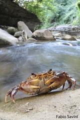 Potamon fluviatile (Fabio Savini) Tags: potamon fluviatile granchio di fiume freshwater crab foreste casentinesi parco nazionale appennino appennine endemic rare