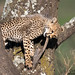 Nom Nom Nom (Explore 3/19/2017) (tkfranzen) Tags: cheetah cheetahcub ndutu ngorongoroconservationarea tanzania africa africansafari africanwildlife acinonyxjubatus conservation iucnvulnerable wildlifephotography naturephotography canon tnclivenature animalplanet